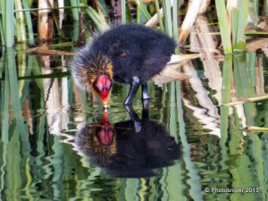 Coot Chick - is its appearance designed to put off predators ?