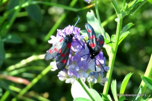 Five-spotted Burnets