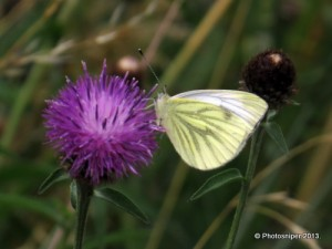 Green-veined Whte