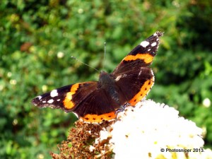 Red Admiral - Linear Park