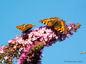 Comma and Small Tortoiseshell