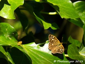 Speckled Wood and Hoverfly