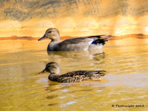Pair Of Gadwall-Shipley View Lagoons