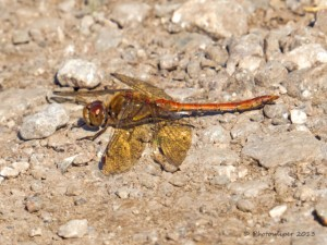 Common Darter-Wyver Lane