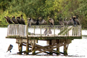 Digiscoped Cormorants