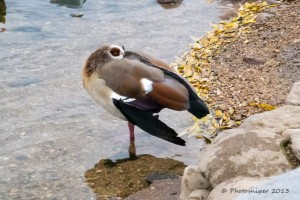 Egyptian Goose-Attenborough NR