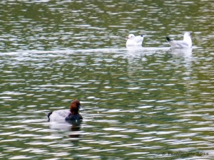 Drake Pochard-Straws Bridge