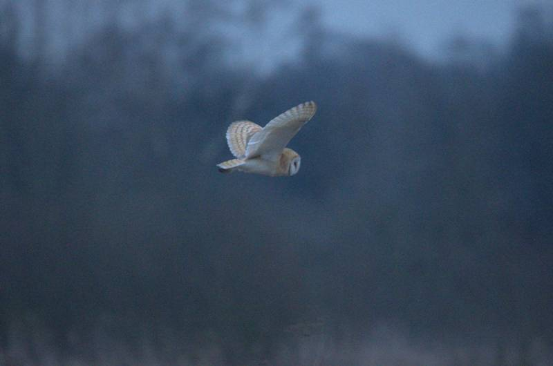 Barn owl still in the valley